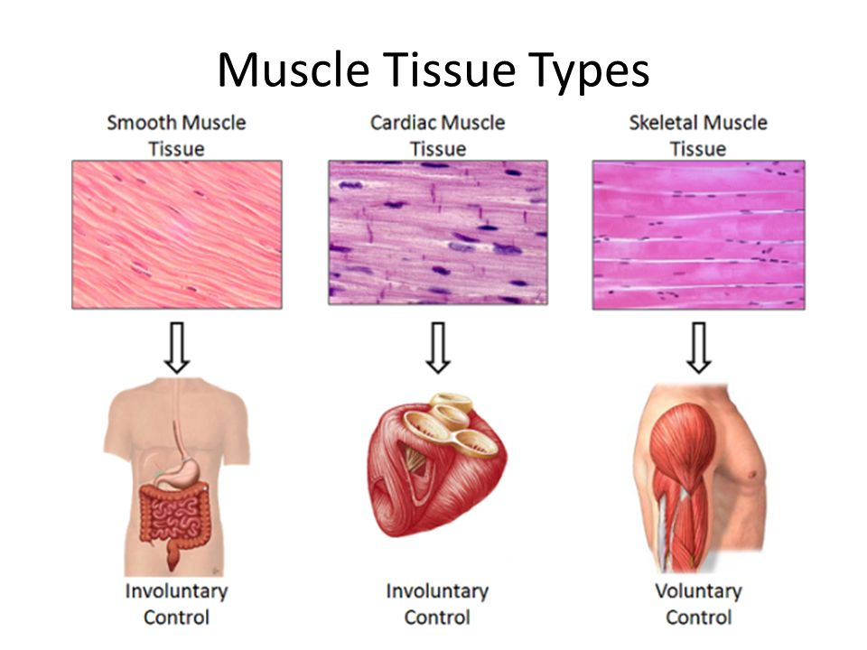 Muscle And Nervous Tissue Ppt Video Online Download