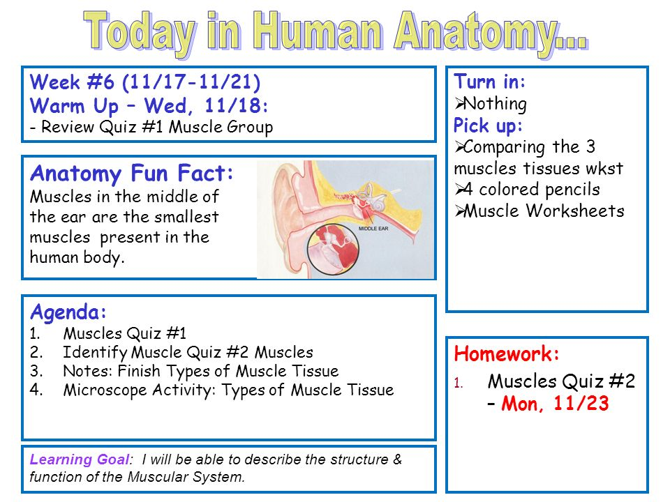 Muscles Of The Body Quiz Gallery Human Internal Organs Diagram