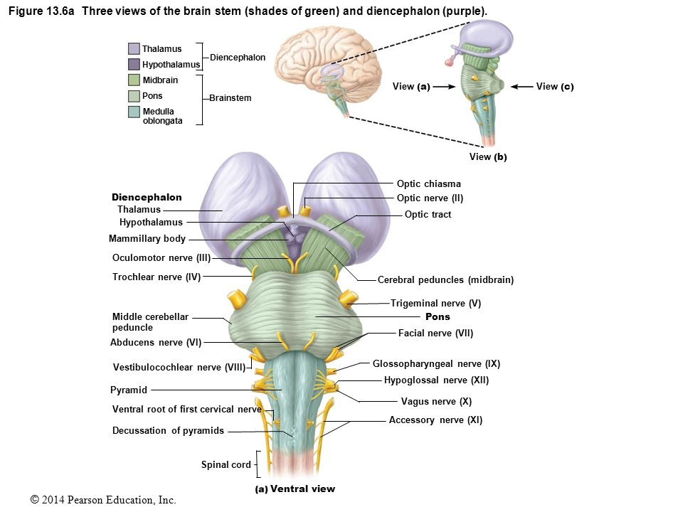 Unique Cerebral Peduncle Anatomy Ideas - Anatomy And Physiology ...