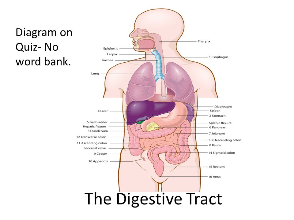 Digestive system notes ppt download the digestive tract diagram on quiz no word bank ccuart Gallery