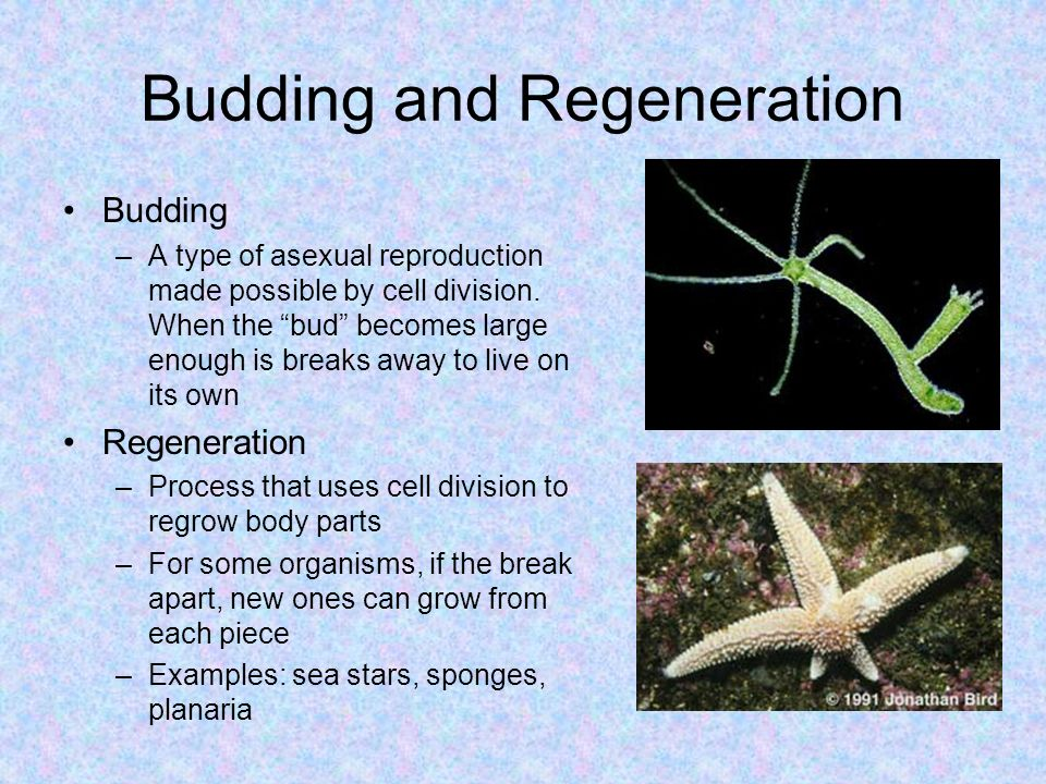 Planaria type asexual reproduction budding