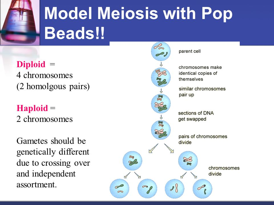 Meiosis ppt video online download model meiosis with pop beads ccuart Image collections