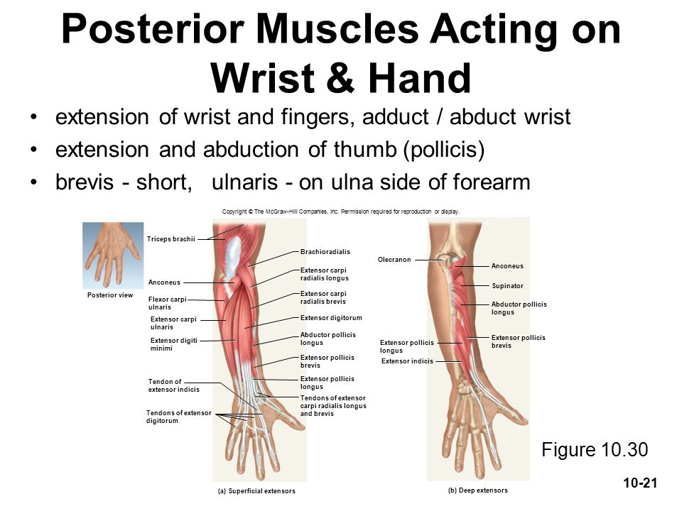 Muscles acting on the shoulder and upper limb - ppt video online ...