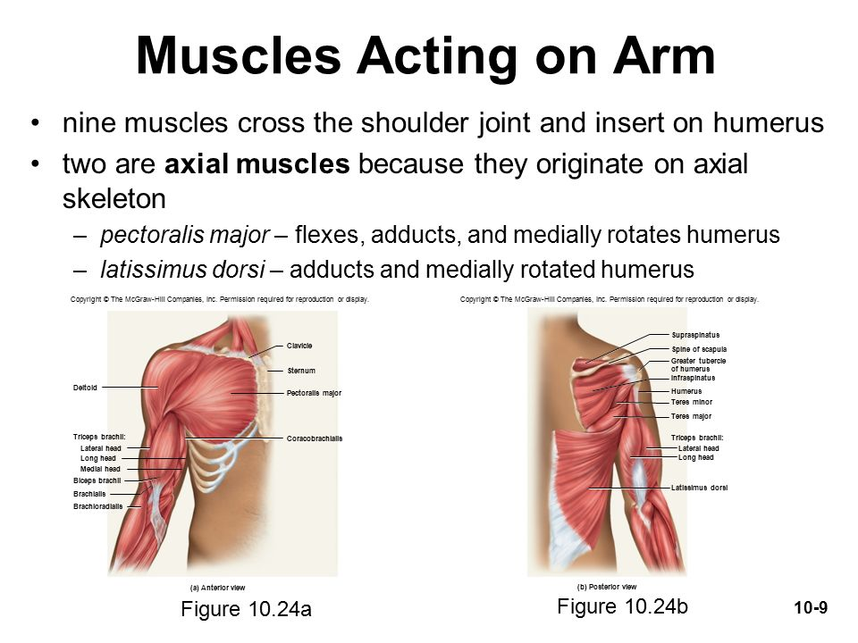 Muscles Acting On The Shoulder And Upper Limb Ppt Video Online