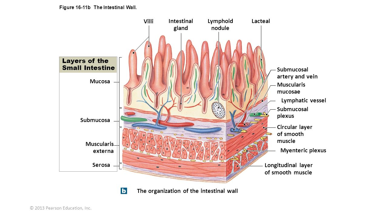 Intestinal Layer Diagram Search For Wiring Diagrams