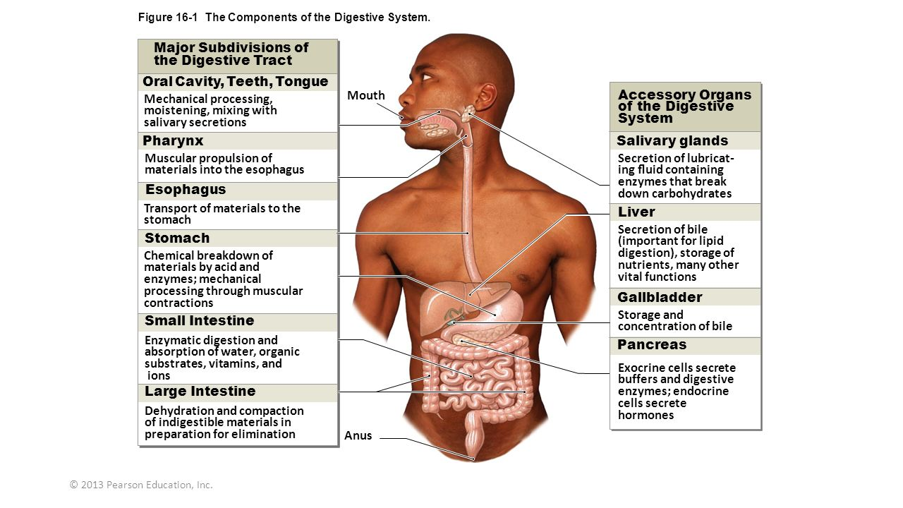 Digestive System Physiology - ppt video online download
