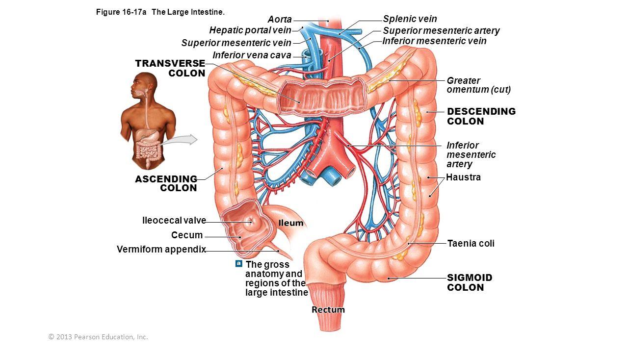 Cecum Ileocecal Valve Anatomy Topsimages
