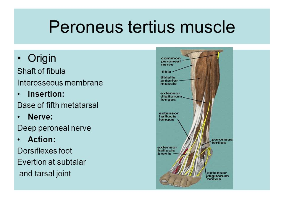 Anatomy lecture Anterior and lateral compartment of leg. - ppt video ...