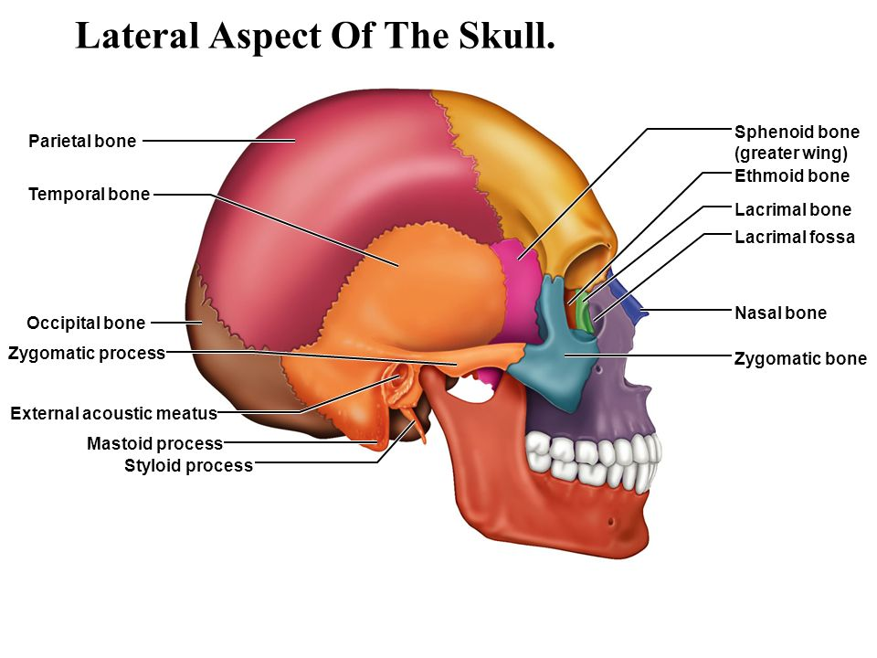 An Overview Of The Skeleton Ppt Video Online Download
