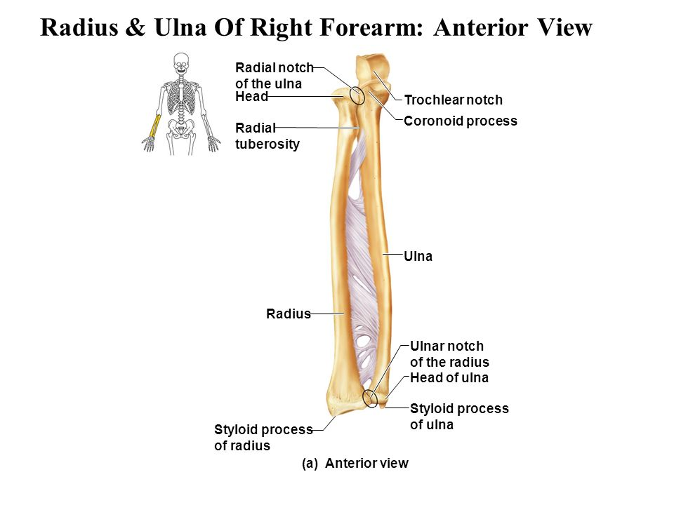 Colorful Ulna And Radius Anatomy Images - Anatomy And Physiology ...