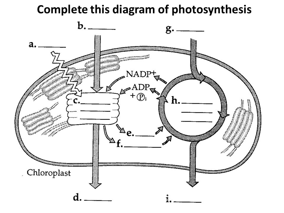 Chloroplast photosynthesis diagram unlabeled online schematic purpose of photosynthesis ppt video online download rh slideplayer com chloroplast cartoon simple animal cell diagram unlabeled ccuart Choice Image