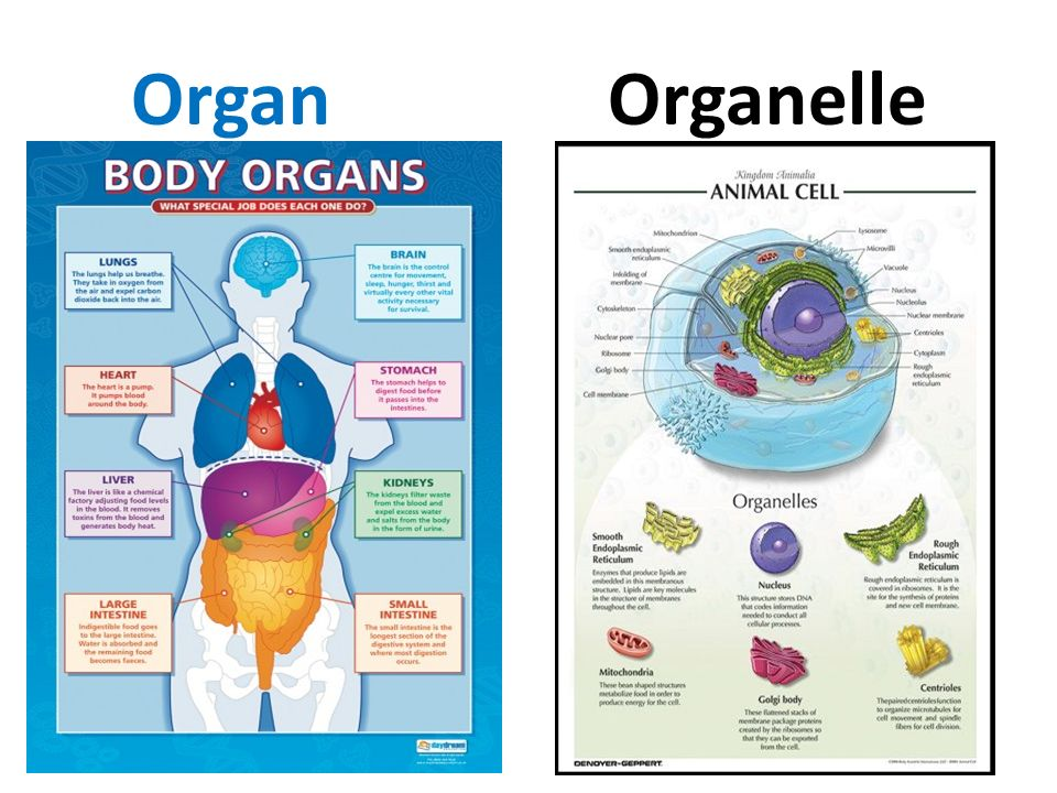 differentiate between organ and organelle