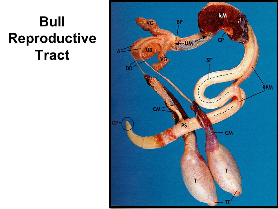 Lec 3 Male Reproductive Tract Anatomy Ppt Video Online Download