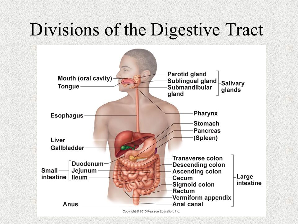 The Digestive System Chapter Ppt Video Online Download
