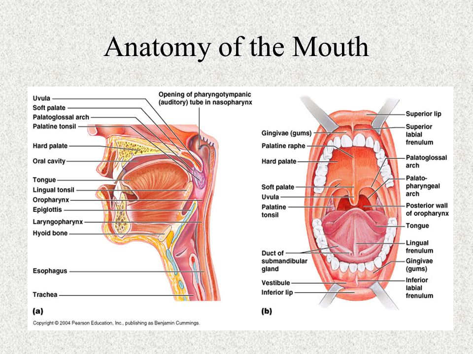 Amazing Anatomy Of The Gums Image Collection - Anatomy And ...