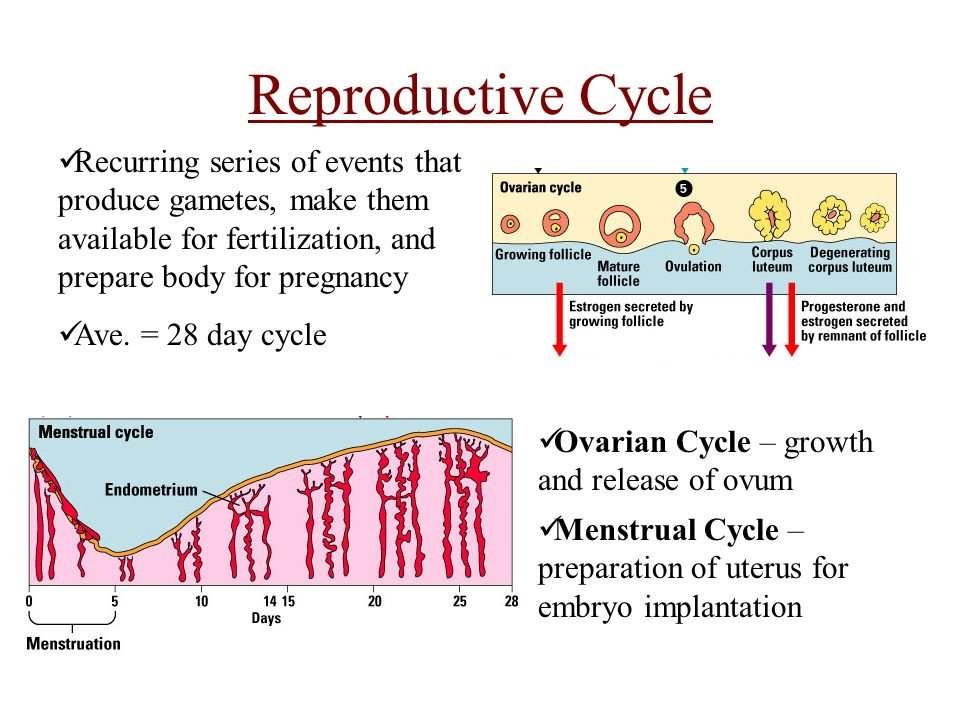 Female Reproductive Cycle Ppt Video Online Download
