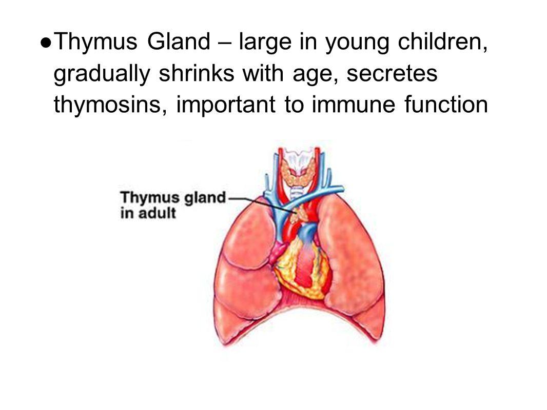 Amazing Thymus Gland Function Motif Internal Organs Diagram