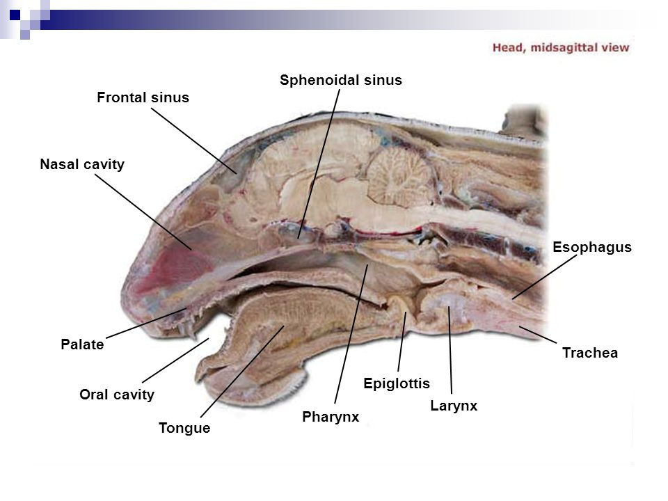 Oropharynx Cat Cat Dissection ...
