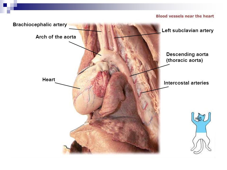 Cat Dissection Muscular Labs. - ppt video online download