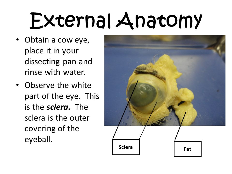 Cow Eye Dissection Welcome To Cow Eye Dissection This Powerpoint