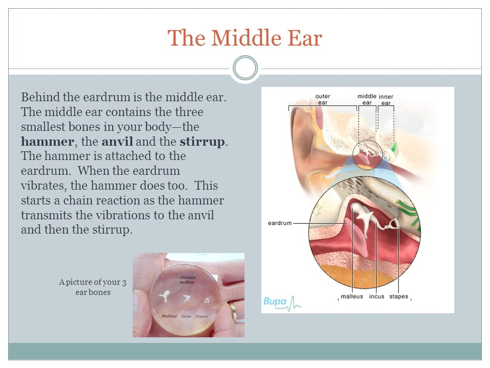 How You Hear Sound The Function Of The Ear Is To Gather Sound Waves