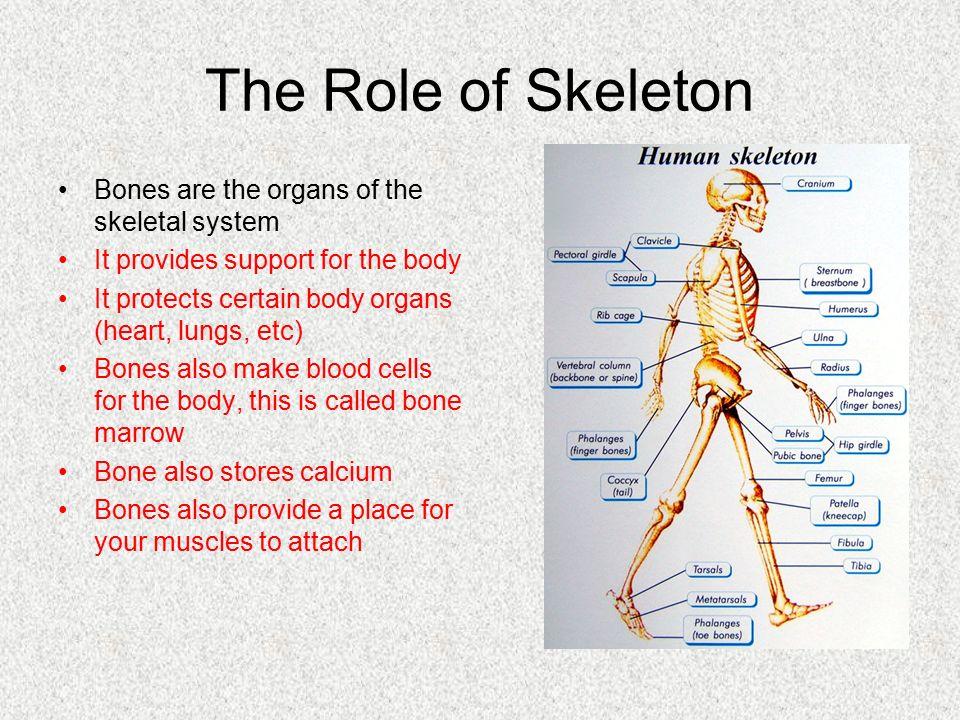 Skeletal System & Bone Identification - ppt video online download