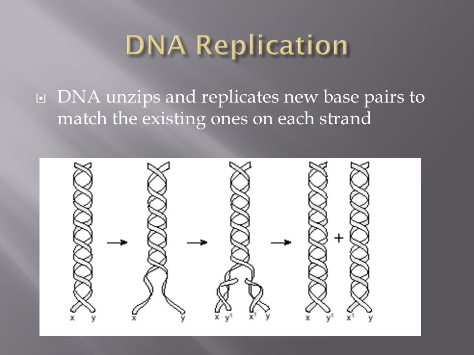 DNA Replication DNA unzips and replicates new base pairs to match the existing ones on each strand