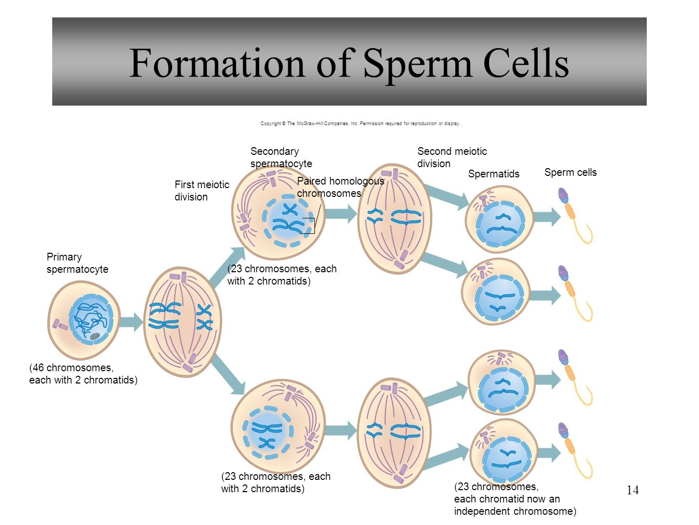 Perfect Anatomy Of Sperm Pictures - Anatomy and Physiology Tissue ...
