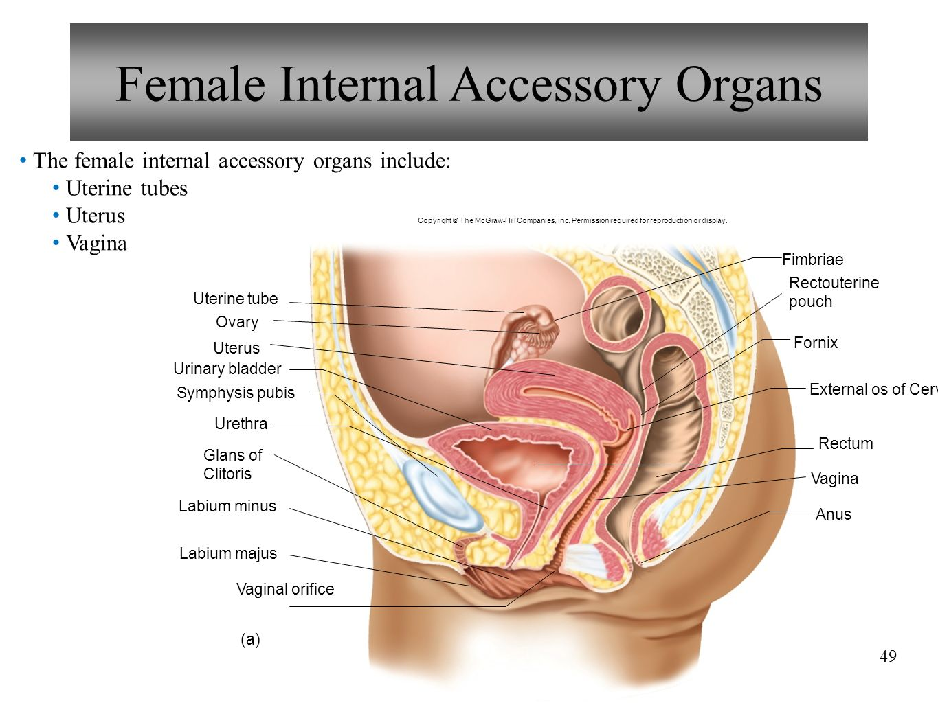 Lecture Powerpoint Reproductive Systems Anatomy And Phyiology Ppt