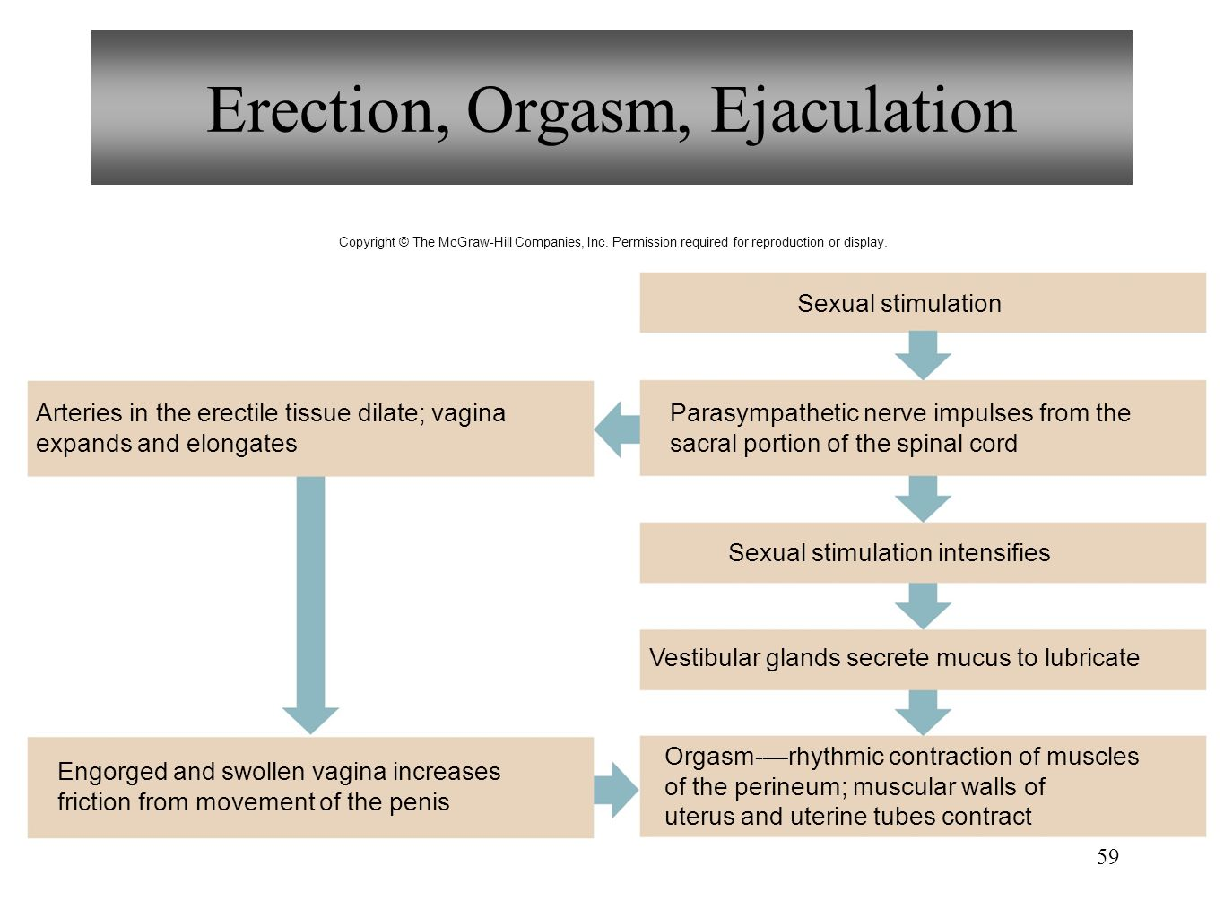 Obviously were parasympathetic stimulates ejaculation of orgasm can