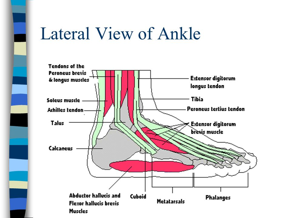 Ankle and Lower Leg Chapter ppt download