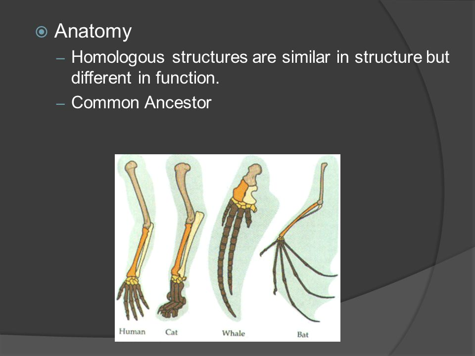 Anatomy Homologous structures are similar in structure but different in function. Common Ancestor