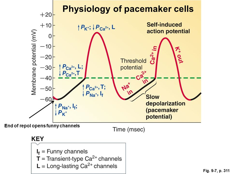 Physiology Of Pacemaker Cells