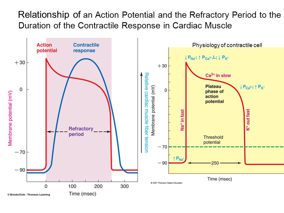 Chapter 9 cardiac physiology ppt video online download relationship of an action potential and the refractory period to the duration of the contractile response ccuart Choice Image