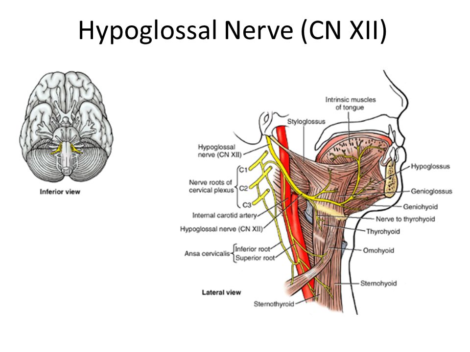 Dorable Hypoglossal Nerve Anatomy Adornment - Image of internal ...