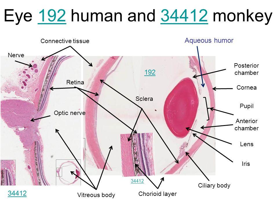 Eye Anatomy Diagram Histology Slides - Auto Electrical Wiring Diagram •