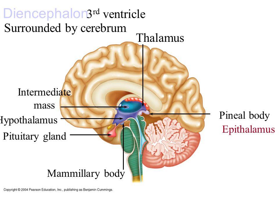 Forebrain, diencephalon. Meninges of the brain. Cerebro-spinal fluid ...