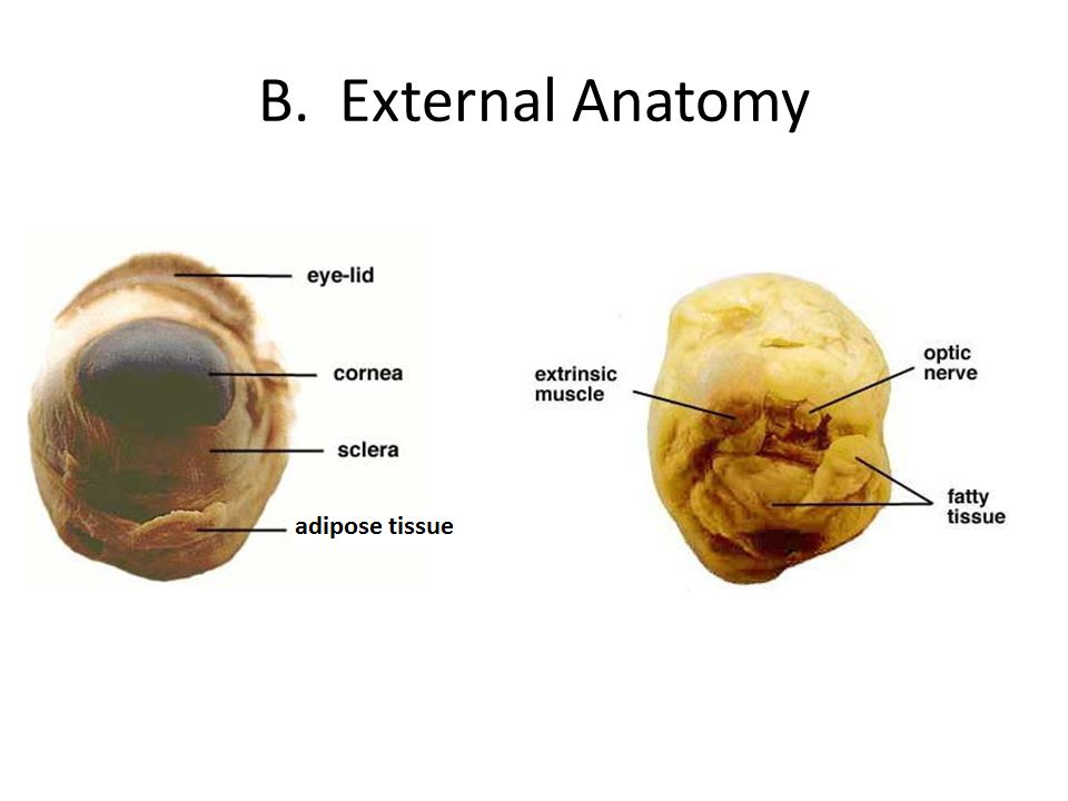 Sheep Eye Dissection. - ppt video online download