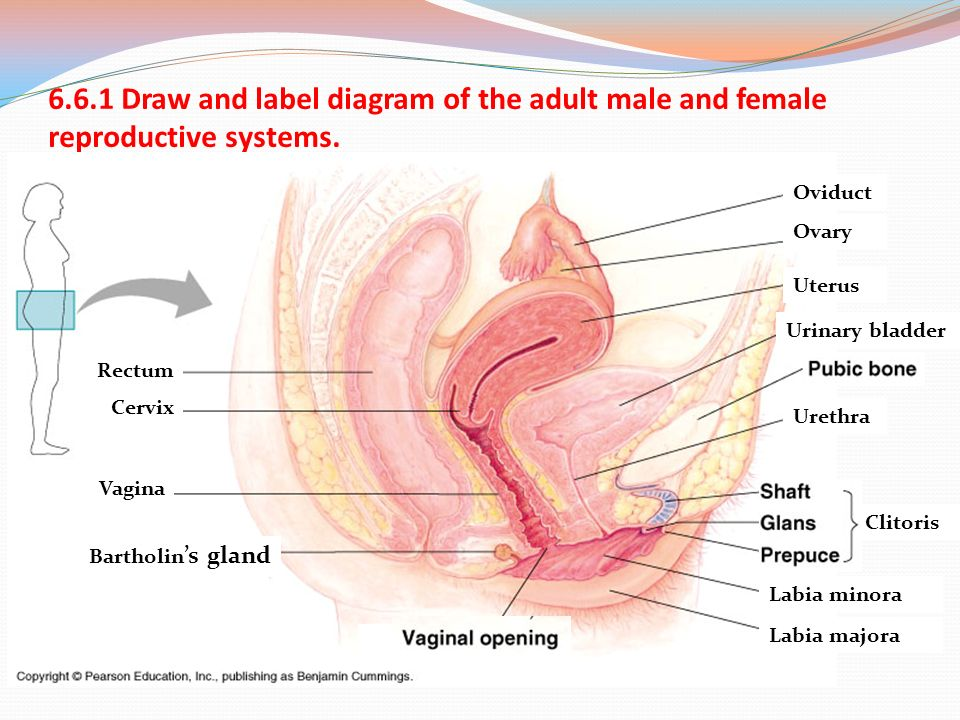 Female Reproductive System Labeled Diagram Of The Slide Diy