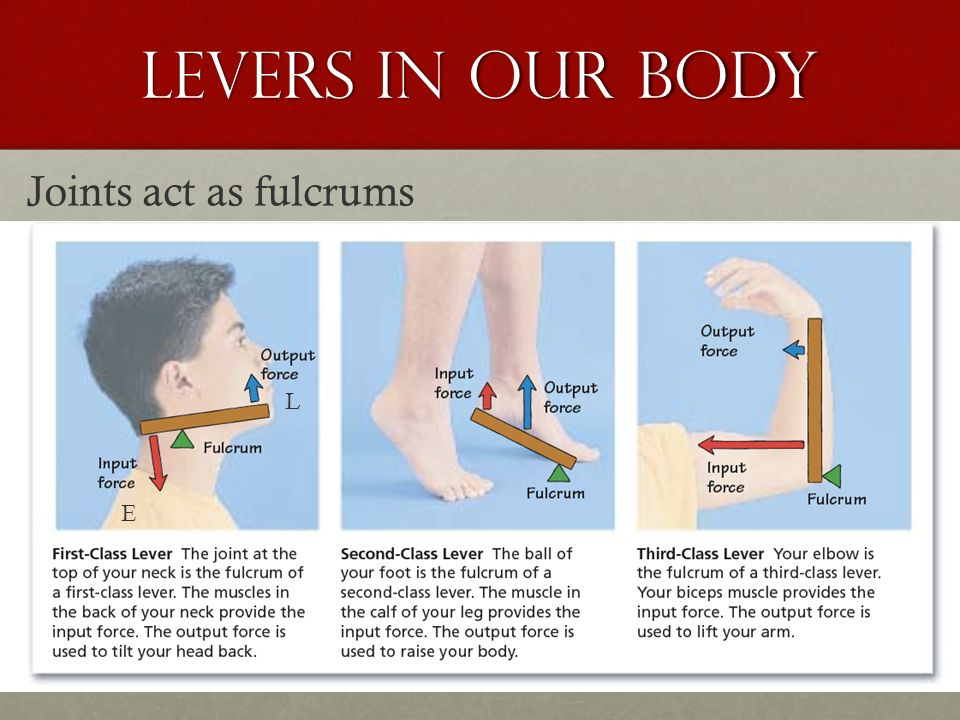 levers in our body