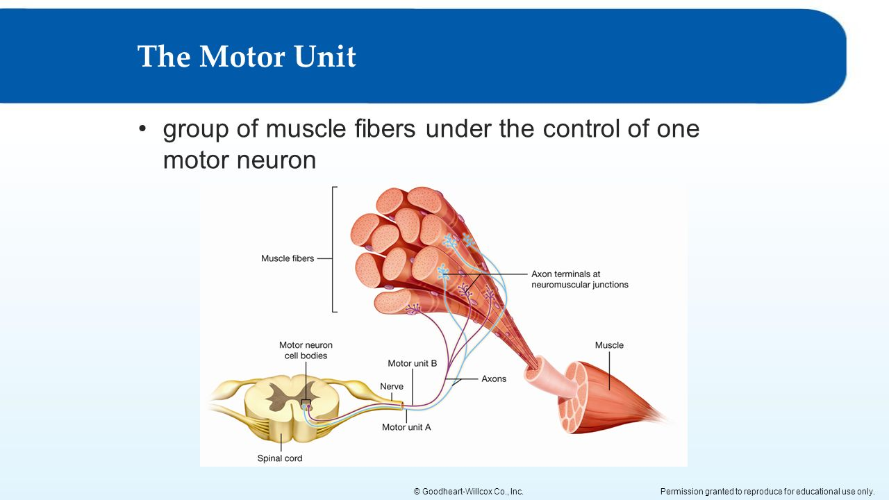 skeletal muscle actions ppt download