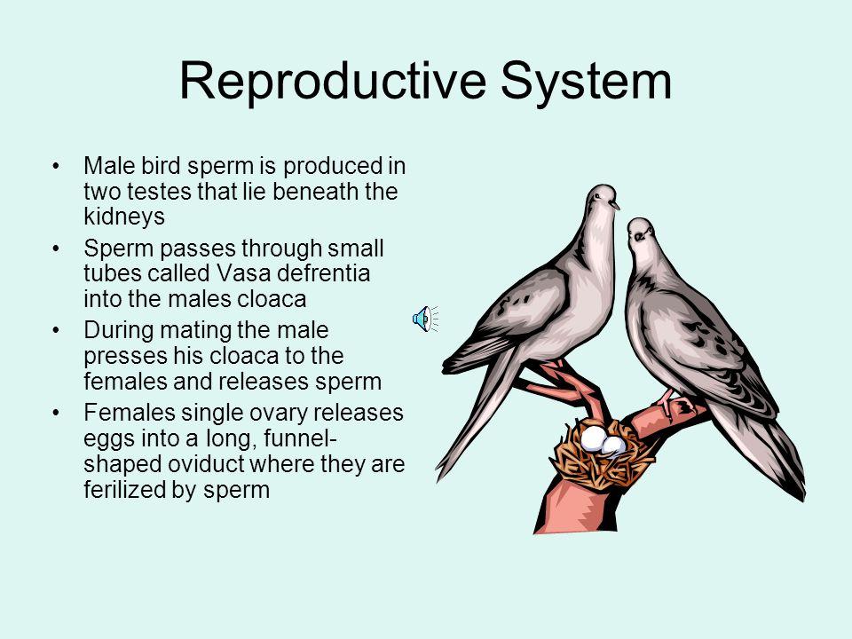 Duck Anatomy Diagram Gallery Human Body Anatomy