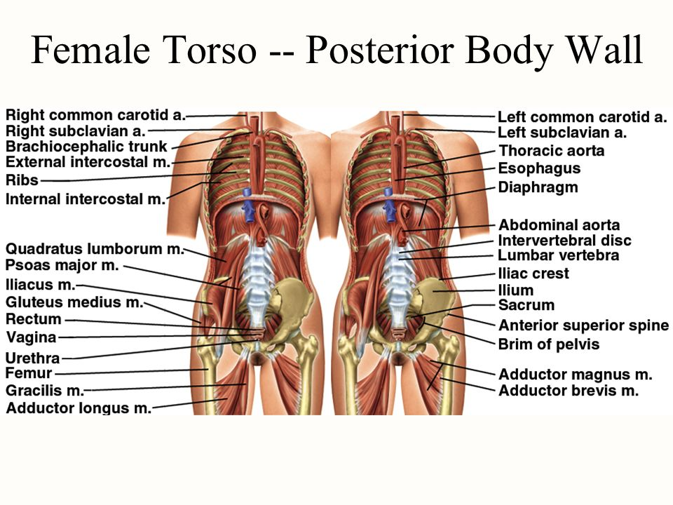 Atlas A General Orientation To Human Anatomy Ppt Video Online Download
