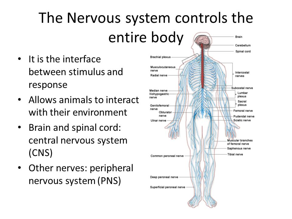 Neurons The Matter Of The Nervous System Ppt Download