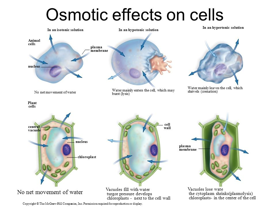 Osmosis Plant Cell Vs Animal Cell Venn Diagram Product Wiring
