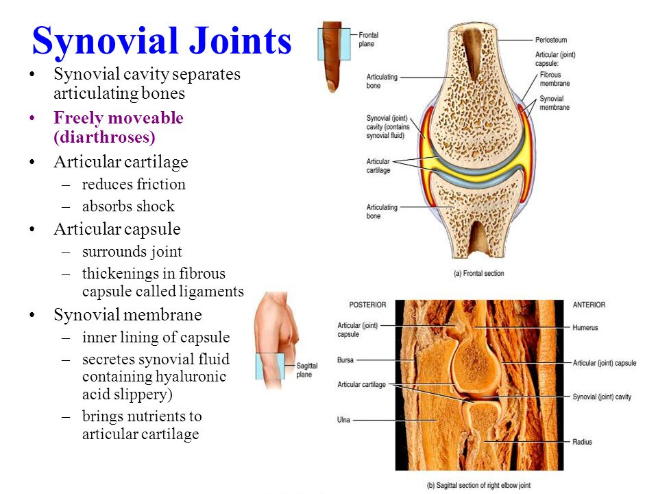Joints Articulations. - ppt video online download
