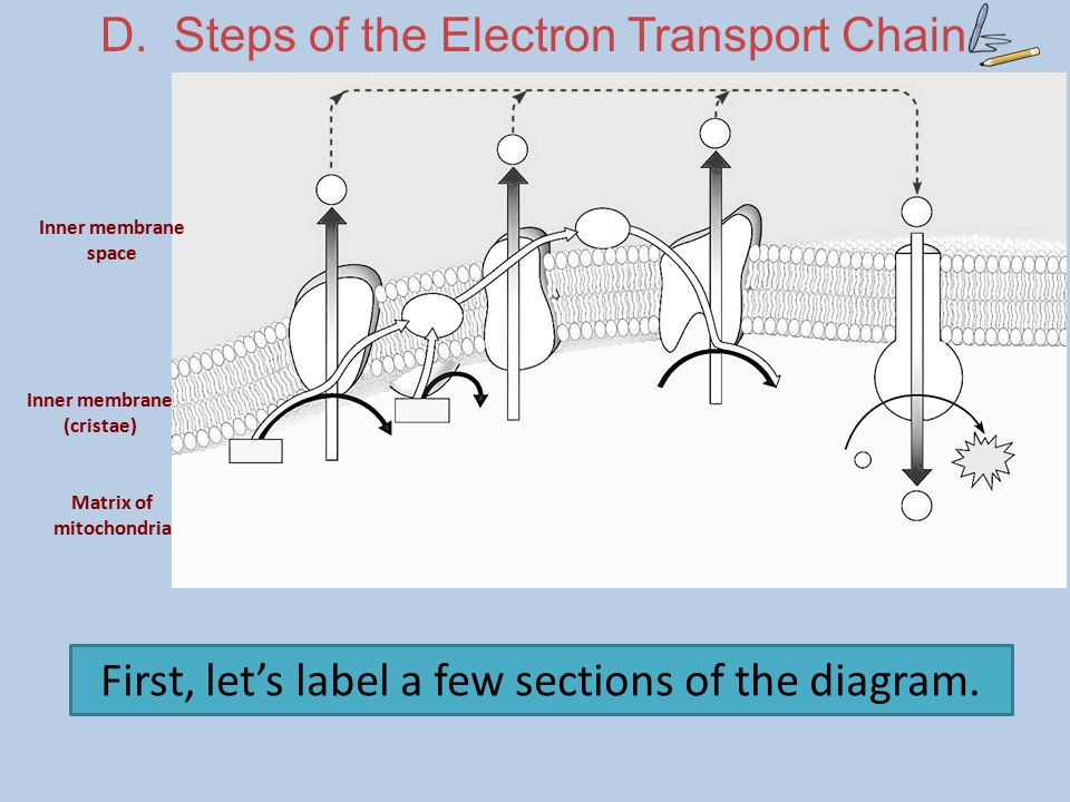 Good morning 127 do now hand in lab report ppt download d steps of the electron transport chain ccuart Image collections