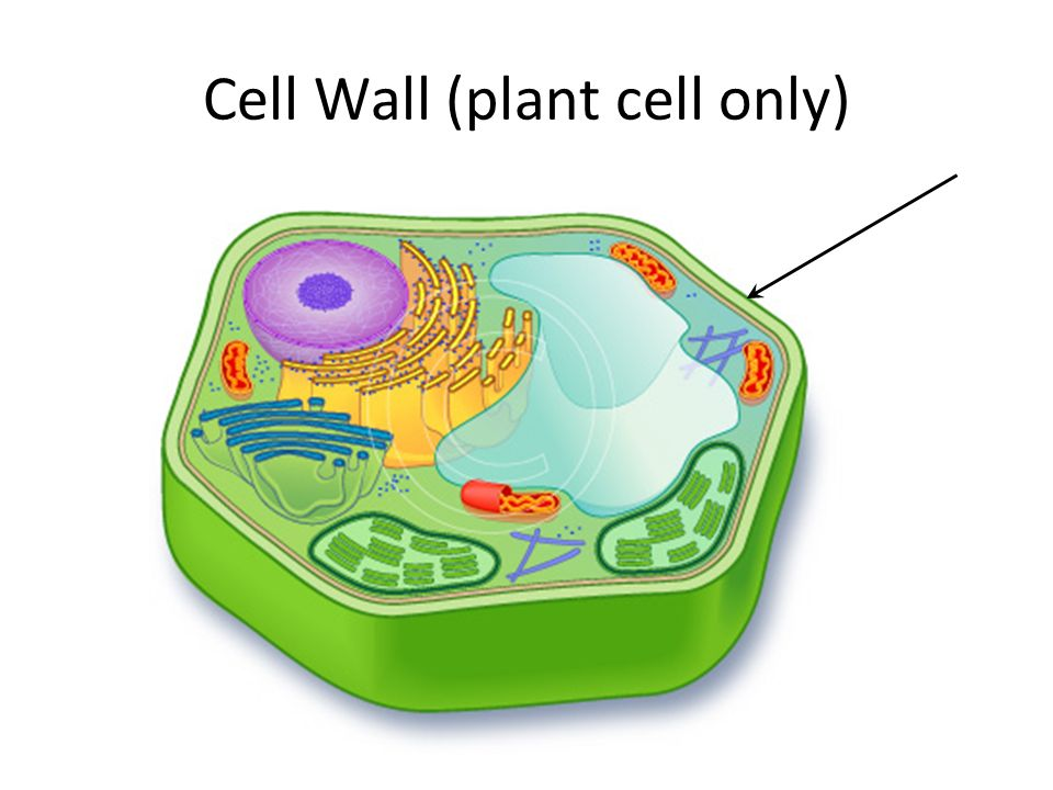 The Eukaryotic cell – Parts and their functions. - ppt video online ...