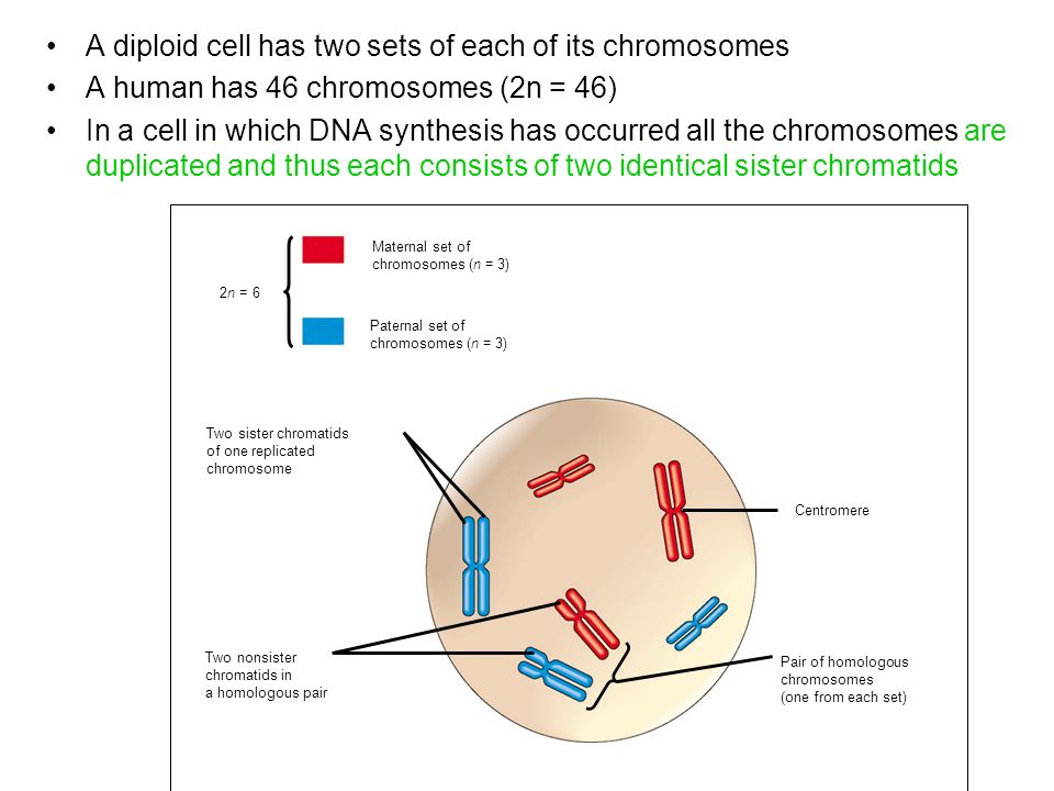 Human cell diagram chromosomes diy wiring diagrams chromosome genome and cell cycle ppt video online download rh slideplayer com plant cell chromosomes located ccuart Choice Image
