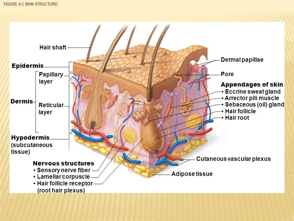 Eccrine Gland Sweat Hair Diagram - Auto Electrical Wiring Diagram •